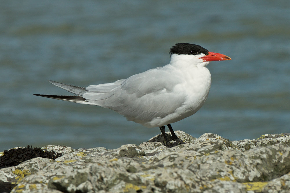 Caspian tern. Adult in breeding plumage. Waitangi, Northland, August 2015. Image © Les Feasey by Les Feasey