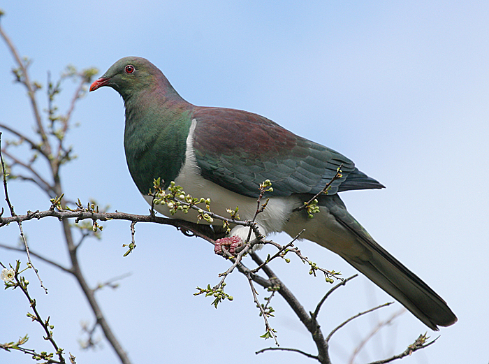 New Zealand pigeon. Adult perched in tree. Wanganui, August 2008. Image © Ormond Torr by Ormond Torr
