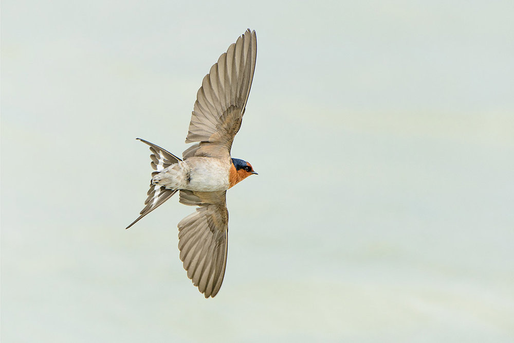 Welcome swallow. Adult, in flight hawking insects. Lake Rotorua, September 2012. Image © Tony Whitehead by Tony Whitehead www.wildlight.co.nz