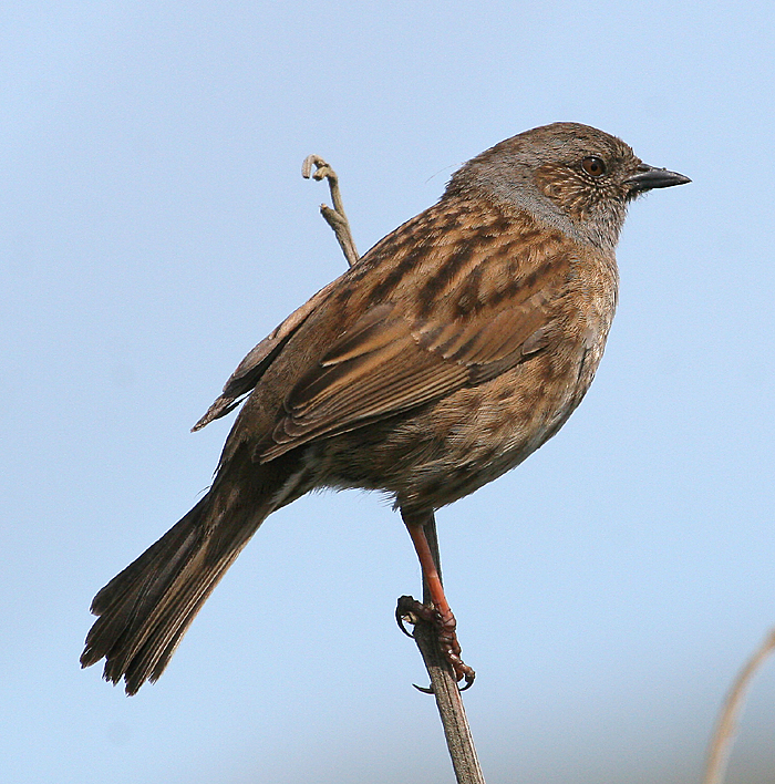 Dunnock. Adult at singing perch. Whanganui River estuary, Wanganui, October 2008. Image © Ormond Torr by Ormond Torr
