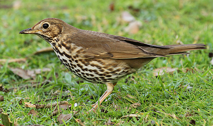 Song thrush. Adult. Wanganui, September 2010. Image © Ormond Torr by Ormond Torr
