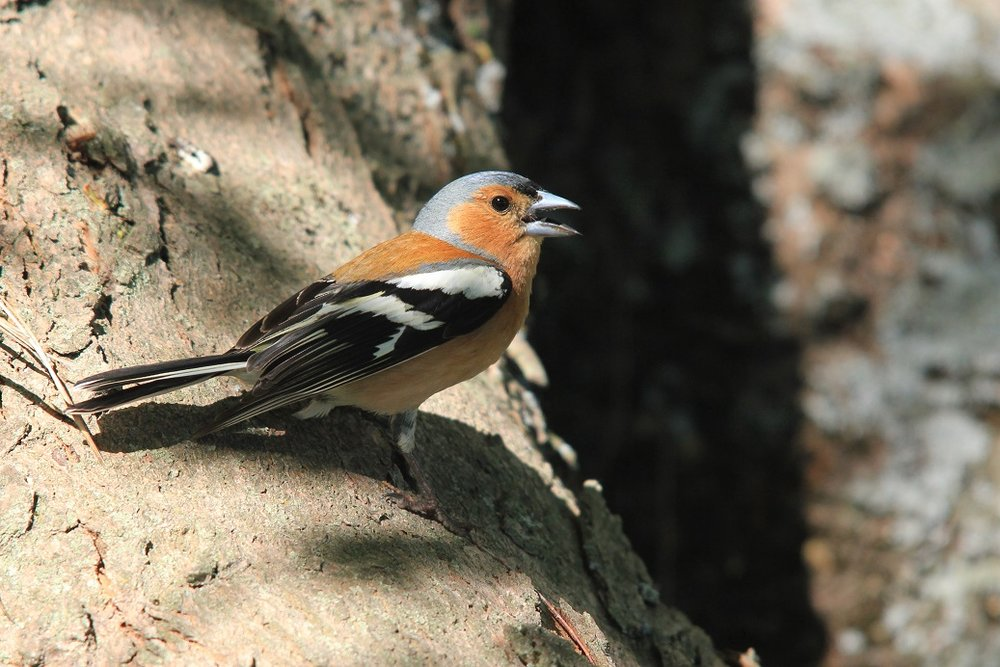 Chaffinch. Adult male singing. Anderson Park, Taradale, Napier, November 2011. Image © Adam Clarke by Adam Clarke