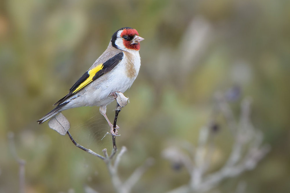 European goldfinch. Adult male. Miranda, December 2012. Image © Tony Whitehead by Tony Whitehead www.wildlight.co.nz