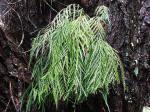 Adiantum aethiopicum (maidenhair fern)_small.jpg