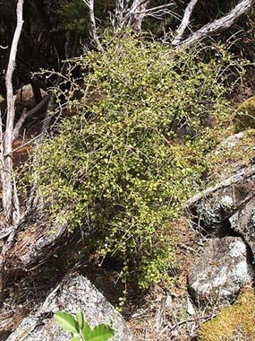 Coprosma rhamnoides.jpg