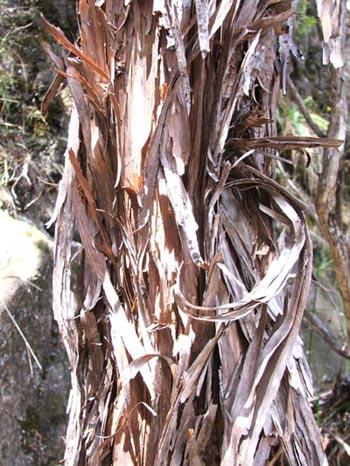 Kanuka bark.jpg