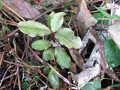 Myrsine australis (mapou).jpg