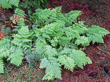 Peasia scaberula (pig fern).jpg