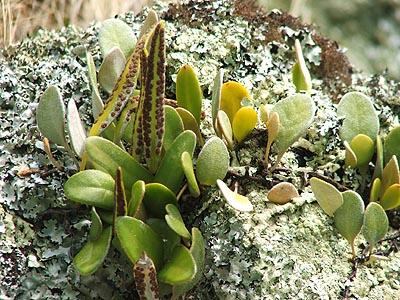 Pyrossia eleagnifolia.jpg