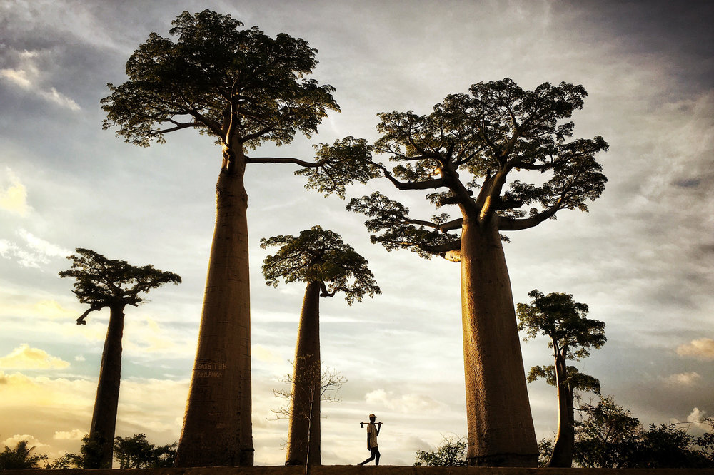 A man walks through the Avenue of the Baobabs at dusk near Morondava, Madagascar