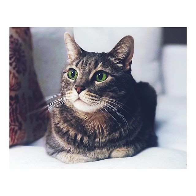 Percy practically posing. Atlanta, Georgia. February 25, 2019. #cat #catsofinstagram #catdad #fosterfailure