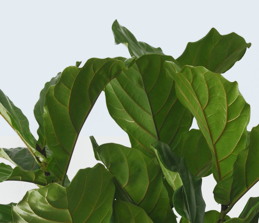 Fiddle Leaf Fig Tree -