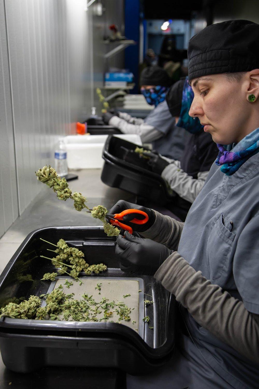 2019_02_06_HandTrimming_Cultivation_Flowering_Harmony_Dispensary_Cannabis_Marijuana_05.jpg