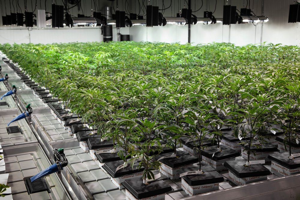 2019_01_27_Veg_Cultivation_Flowering_Harmony_Dispensary_Cannabis_Marijuana_11.jpg