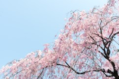March 2019 - Earlier last week we celebrated the Spring Equinox, and soon the cherry trees in the northern part of the state will blossom…