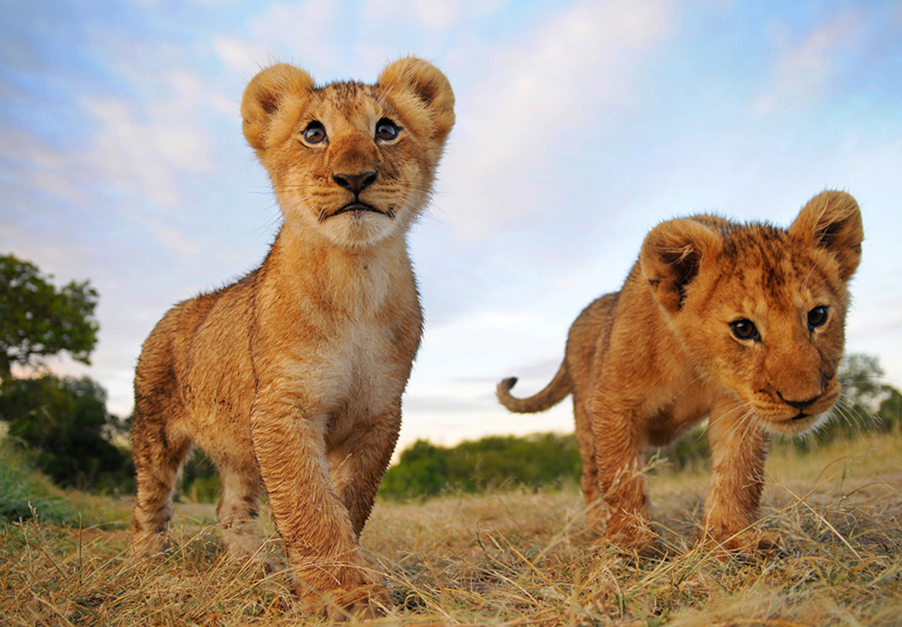 Lion_cubs.jpg