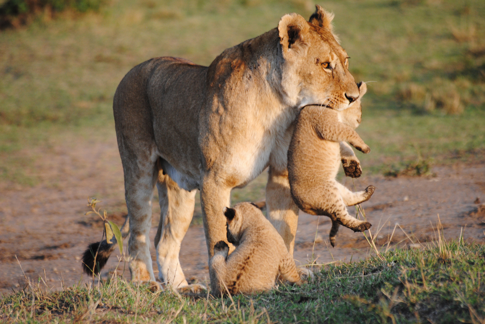 KWCA_Lion_Cubs.jpg