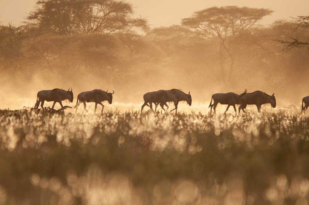 soralo-wildebeest.jpg