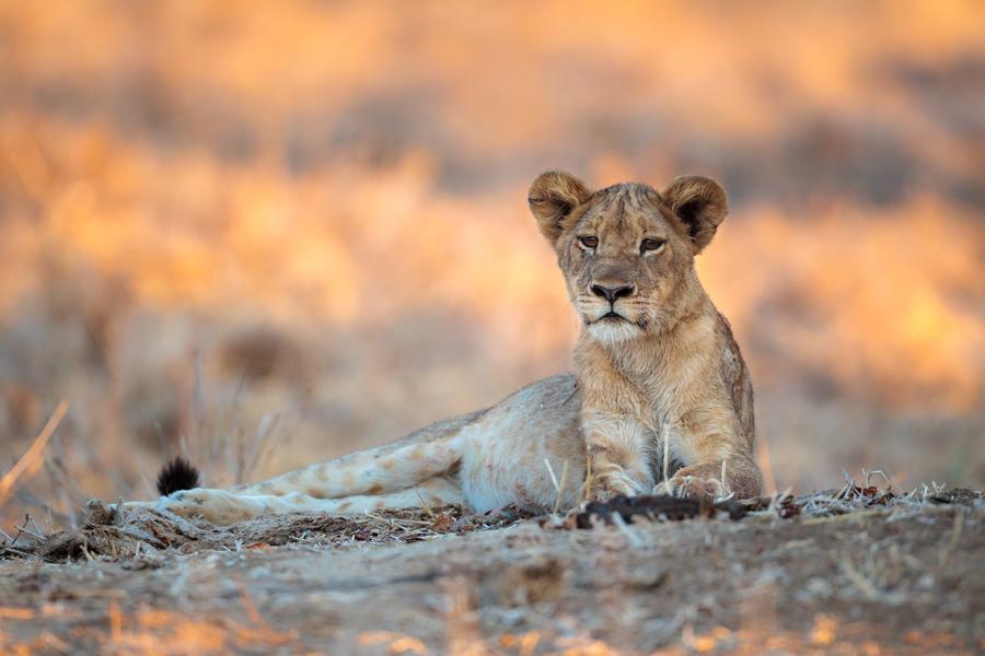 BCP_lion.jpg