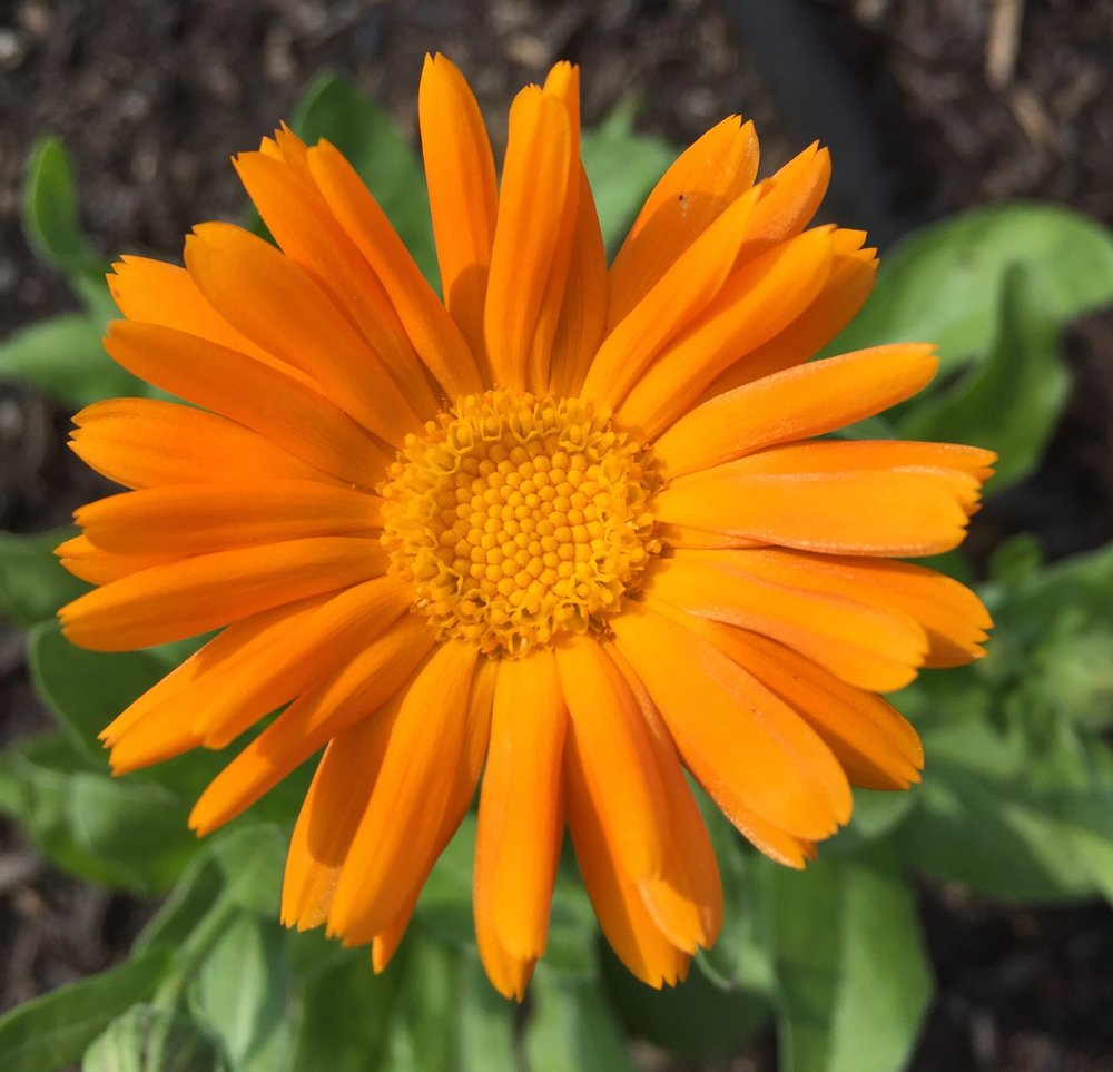 REF:13  'calendula officinalis'  calendula  use flower petals in salads, both sweet and savory. infuse whole flowers in olive oil.