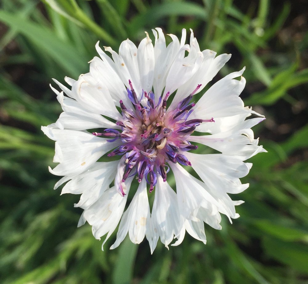 REF:18  'centaurea cyanus'  bleuet (BLanc), white cornflowers  flower petals can be scattered over salads, cakes. add a spicy tone to rice, pancakes or in summer drinks.