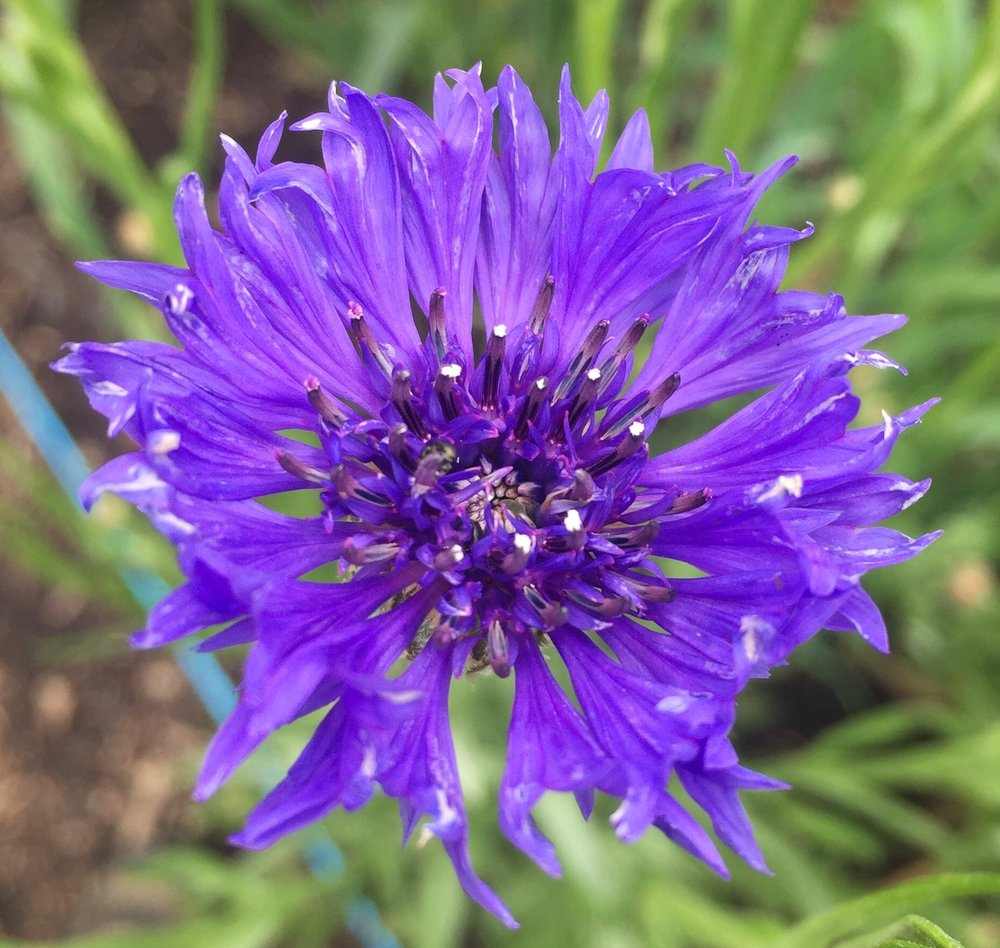 REF:17  'centaurea cyanus'  bleuet (BLeu), blue cornflowers  flower petals can be scattered over salads, cakes. add a spicy tone to rice, pancakes or in summer drinks.