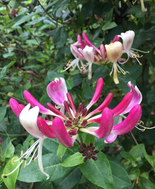REF:57  'Lonicera'  Honeysuckle  honey sweet flower petals can be made into a sorbet. Infuse the petals in salt.