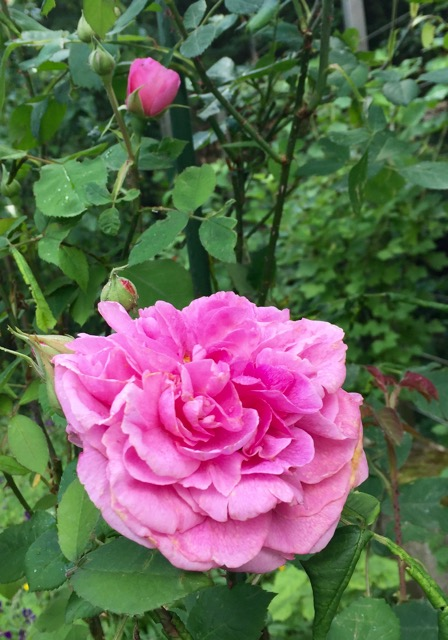 REF:84  'Rosa Gallica' angustifolia'  ROSE, ROses  infuse roses in drinks, cocktails, desserts, ice cream, rice dishes, crystallise petals for chocolate recipes.
