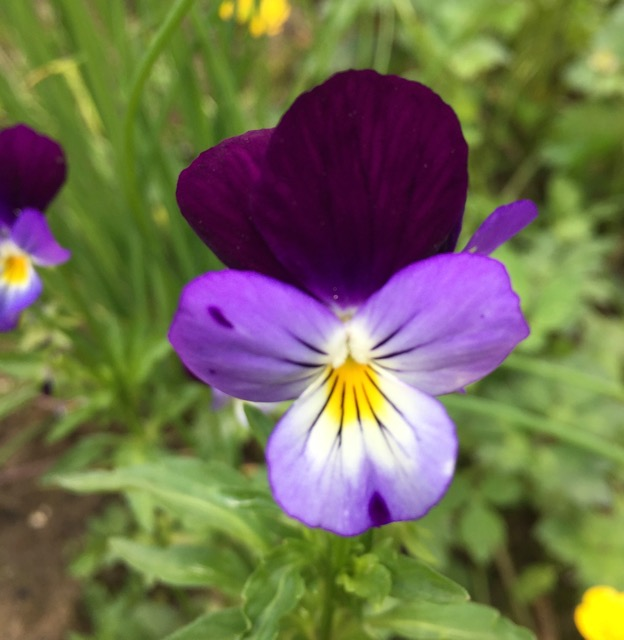 REF:102  'Viola tricolor'  violet, viola (mixed colours)  flower petals can be scattered over salads, cakes. add to pancakes. distill violets in vodka or a great spring cocktail to change the colour of the drink..