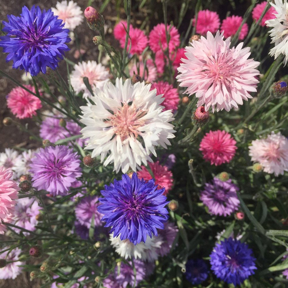 cornflowers (mixed Colours)