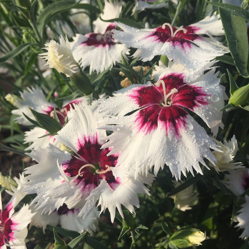 DIANTHUS (MIXED COLOURS)