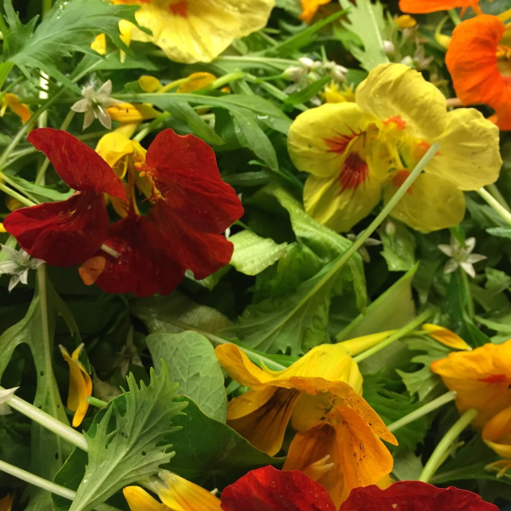 NASTURTIUM flowers  (mixed colours)