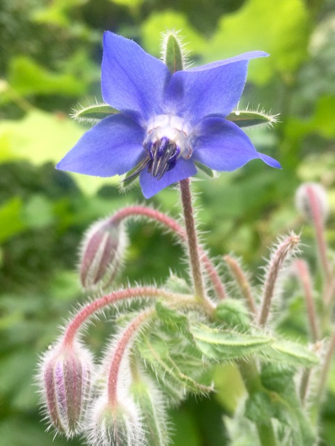 REF:11  'borago officinalis'  Bourrache bleu, Borage (blue)  flowers can be used in drinks and salads. Young leaves can be used in salads, soups or pesto.