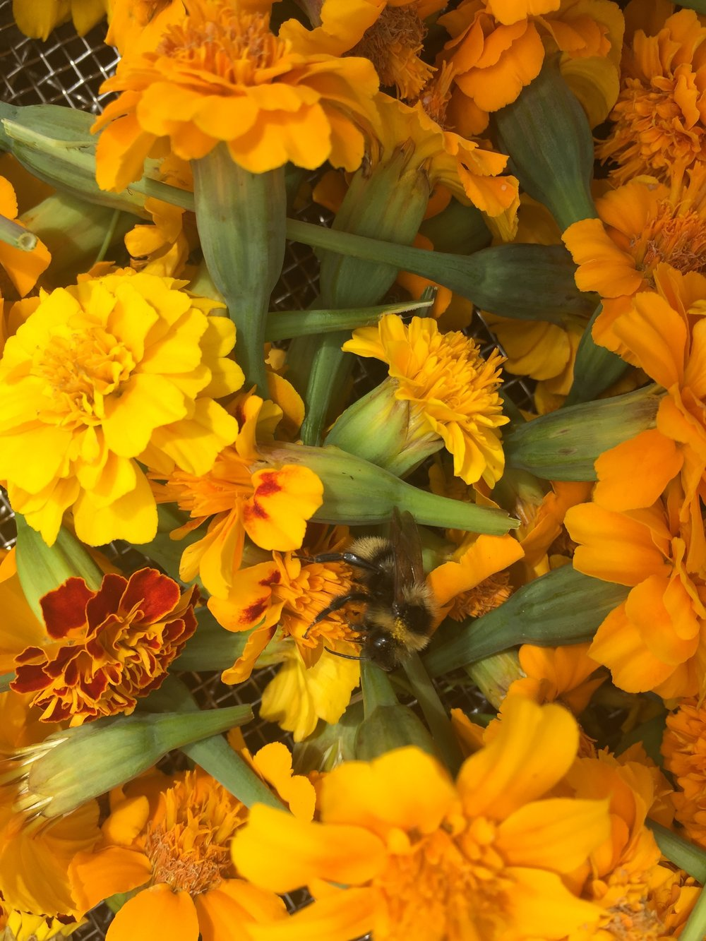 REF:97  'tagetes'  tagete, french marigold  flower petals can be scattered over salads, cakes. add to pancakes for that lemon taste.