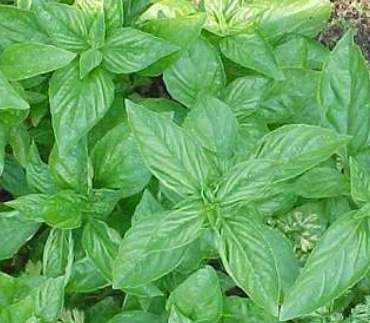 REF:67  'Ocimum basilicum'  Basilic classique classic basil  use with marinades, pasta, tomatoes, salads, sauces, cocktails and infusions.
