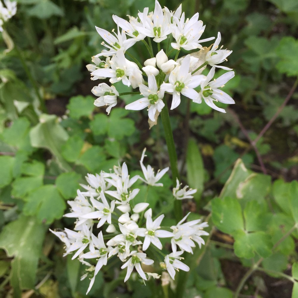 REF:7  'Allium tuberosum'  ciboulette ail, Garlic chives  flowers and leaves are great Added to salads, egg and cheese dishes.