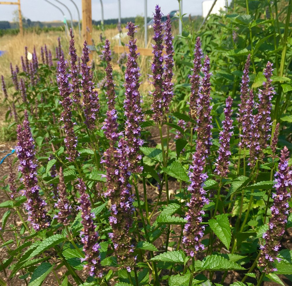 REF:2  'Agastache hybrida Astello Indigo'  Agastache hybrida, Agastache hybrida Astello Indigo  flowers and leaves are edible. delicious added to roasted dishes.