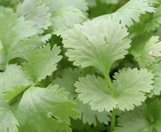 REF:25  'coriandrum sativum'  coriandre, Coriander  great added to spicy dishes.