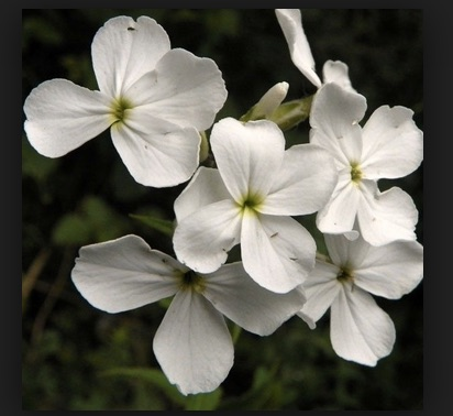 REF:50 ' Hesperis matronalis'  fleure de roquette, Sweet Rocket  add to salads, for that extra tang!