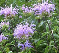 REF:63  'Monarda fistulosa'  Bergamote, Wild Bergamot  use the flower petals and leaves in salads, rice and cocktails. The leaves make a refreshing infusion with mint.
