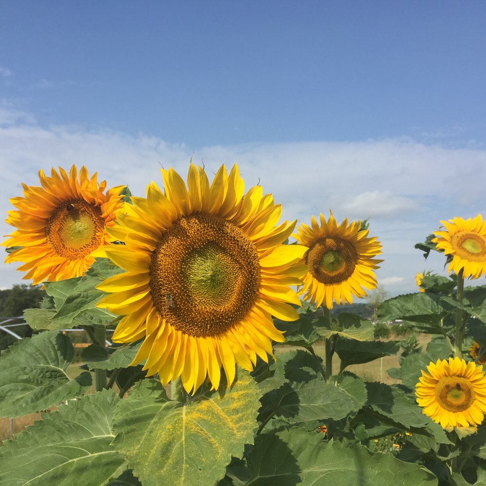 REF:49  'Helianthus'  Tournesol, Sunflower  sunflower petals can be scattered over salads, desserts. toasted sunflowers seeds can be added to muesli and baking.