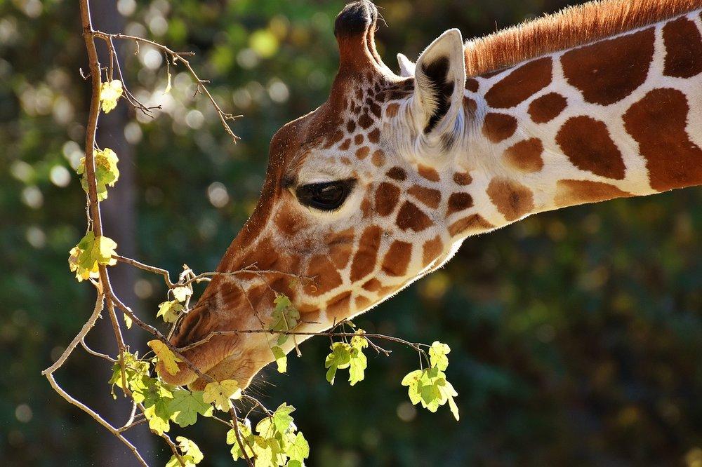 giraffe-2871412_1280.jpg