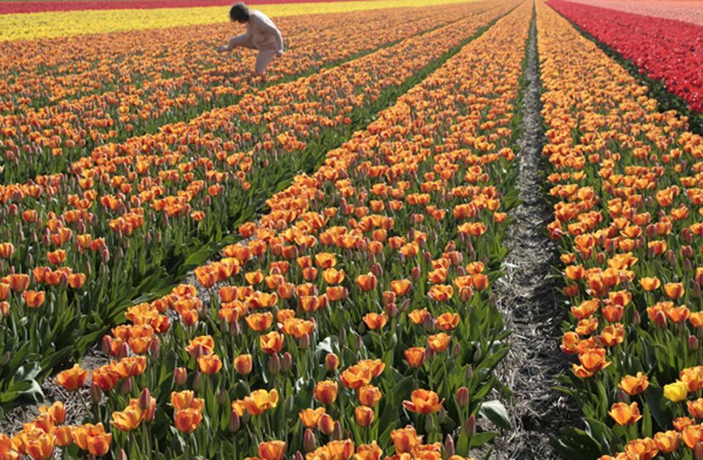 assner_tulips2.jpg
