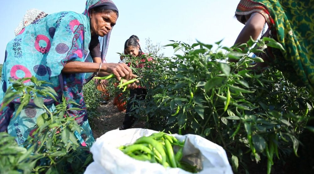 Women harvesting peppers in Mahasagar district Gujarat