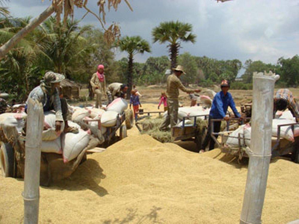 Dry season rice harvest, Kampong Thom Province