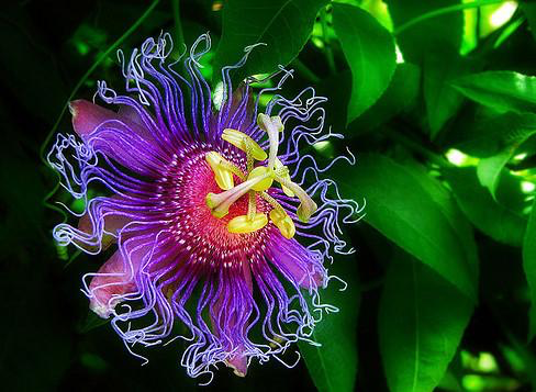 Passionflower_plant.png