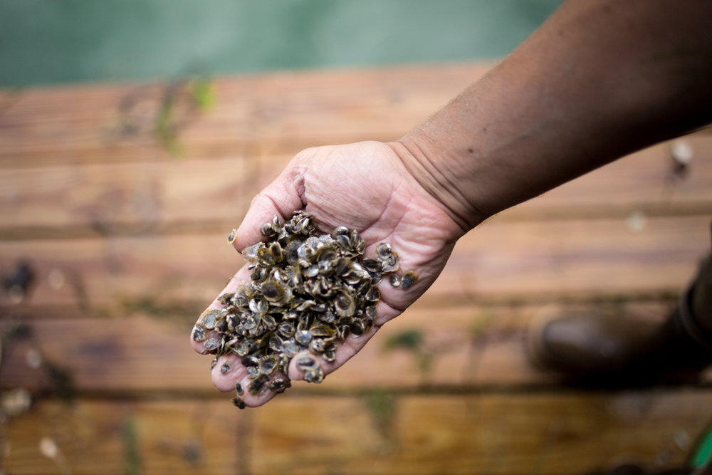 Why do we love oyster farming in Maine? - Maine provides both the perfect growing environment and the strong sense of community that makes farming these waters a pleasure and an honor. Every day on the water in Maine is an adventure!