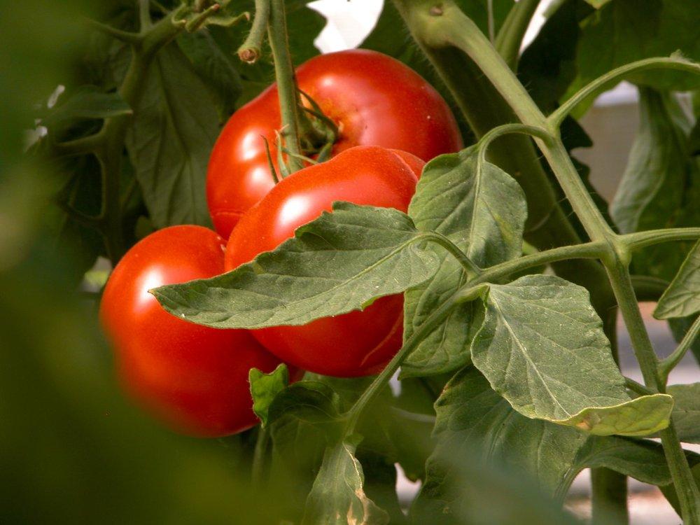 Edgewater tomato.jpg