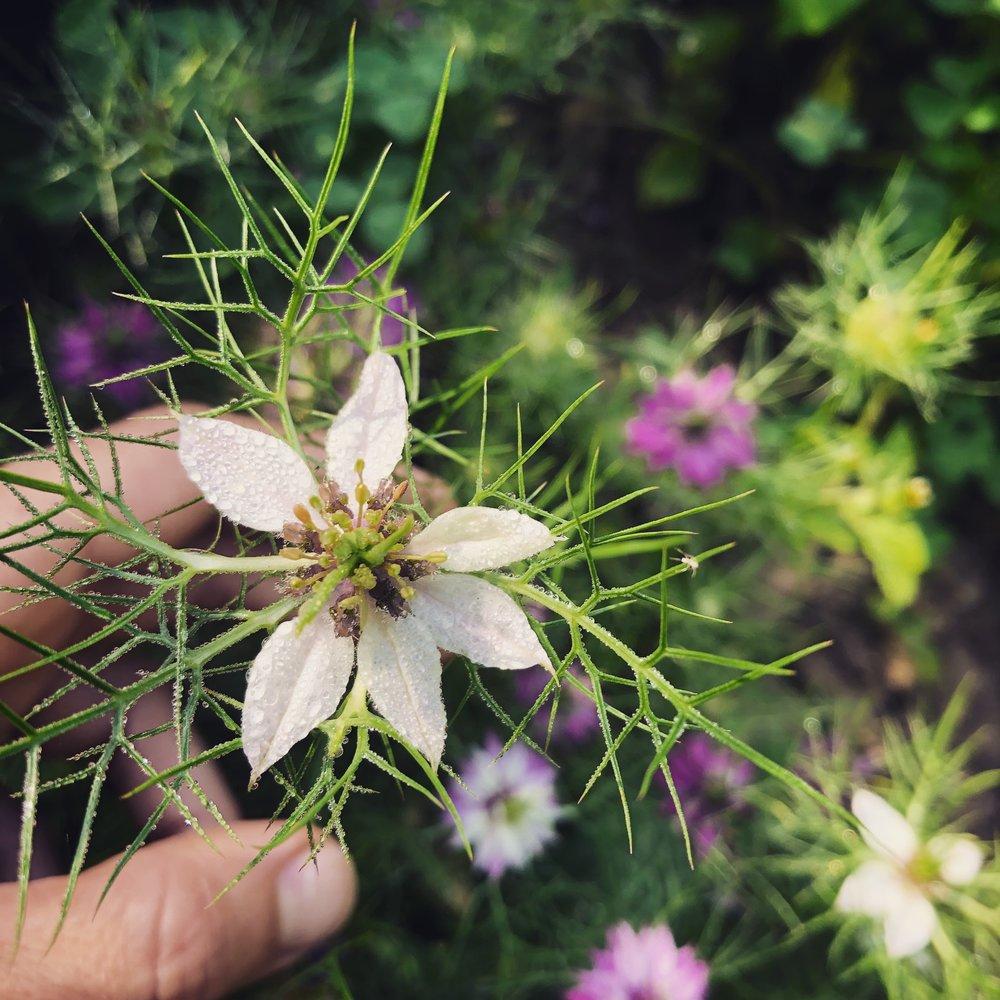 Love in the Mist Flower.jpg