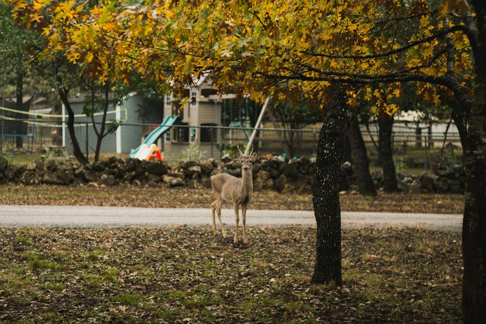 San antonio deer